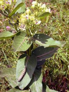 Green-Milkweed-w.-Monarch