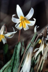Trout Lilly in bloom